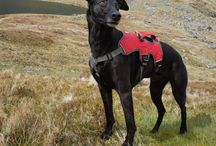 Dougal's Adventures / Out and about with Dougal The Lurcher