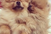 Pomeranians / Puppies