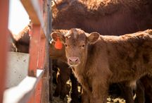Beef / From heat stress to rumen health, our nutritional technologies help beef producers overcome challenges to support cattle health and producer profitability.