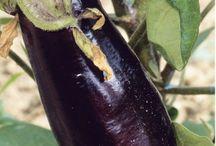Potager d'été |Summer vegetable garden / C'est l'été, le potager est à son apogée. C'est la saison à laquelle il donne beaucoup ! Des légumes en grande quantité à cueillir régulièrement et à consommer aussitôt récoltés pour profiter de toute leur saveur. Tomates, haricots verts, melons, aubergines et courgettes, faites le plein de bons légumes dans votre potager d'été. #potager #été