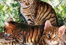 Ussuri / Cat