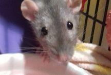 !. My Rats xxx