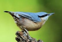 Vogels in Nederland / We hebben de 25 meest voorkomende vogels in Nederlandse tuinen voor je op een rijtje gezet. Welke heb jij al in je tuin gespot? Kijk voor allerlei vogelspullen (voer, vogelhuisjes etc.) eens op onze website. (Bron: Vogelbescherming Nederland)