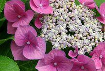 Plants - Hydrangea