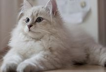 Siberian Cat / I love the siberian cat, she's very pretty!