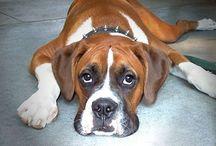 Boxer / I love boxer!!