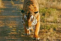 Tigers<3 / by Elaina Morrigan