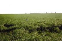 Switchgrass  / Panicum virgatum / by Bioenergy Crops