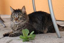Meine Katzen - Urmel / Das ist Urmel  Unser ältester MaineCoon Kater, geboren am 03.05.2012 Ein absoluter Gauner