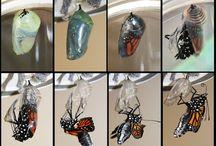 Projekt Schmetterling