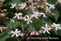 Fragrant Shrubs & Trees / These woody plants can give your garden structure -- why not yummy scents, too?