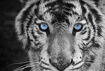 Tiger / Tiger