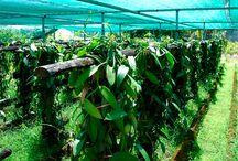 Horta / Plantação de baunilha