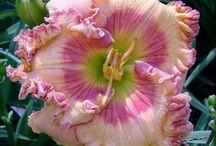 hemerocallis / květiny