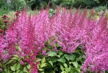 Astilbe 'Veronika Klose' and 'Intermezzo' / Short-growing astilbes with pink flowers