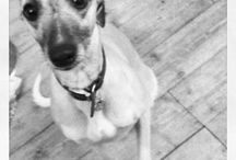 Maggie the wicked whippet ❤❤