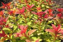 Мое-сад,кусты-деревья. (заказано, посажено) / то, как должно выглядеть посаженное  на моем участке. Фото для сравнения с тем что на самом деле вырастет.