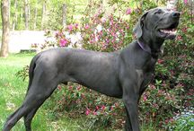Gentle Giants / Raising a Great Dane