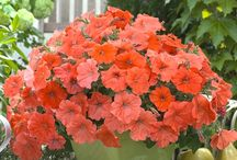 Flowers (Orange) / This board is dedicated to flowering plants that produce orange to orangish flower blossoms.