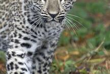 Leopardi - Leopards