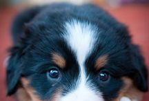 Animals - Bernese Mountain Dog - I want one.