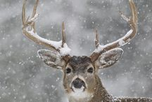 Nature Photography Deer