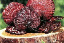 Ganoderma Lucidum / Ganoderma lucidum un fungo millenario conosciuto fin dall'antichità in oriente per i suoi benefici. Ora finalmente anche in italia.