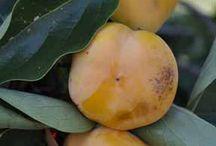 ABC's of Ebenaceae / by Isye Whiting
