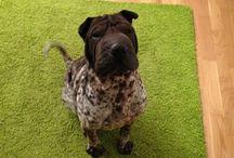 Esquitx o coses per a gossos / El gos més guapo del món