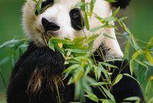 Pandas / by ron harvey