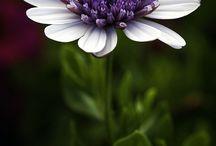Bloemen Spaanse margiet