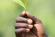 Meet the tea growers / We work with expert smallholder tea growers in Africa and Sri Lanka who hand-pick the best quality teas to make our bright, refreshing (award-winning) blend.  http://www.cafedirect.co.uk/explore-our-range/cafedirect-tea/hand-picked/