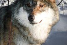 Wolves/Волки
