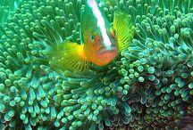 Diving in Pemuteran, Bali / Corals, reefs, reef fish.