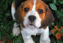 BEAGLES :The Nose knows / Look Book for Beagle.