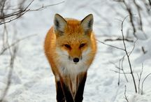 "Foxes / ""The fox changes his fur but not his habits""."