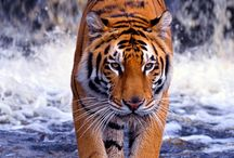 Animals ~ Tigers / by Carroll Wilson