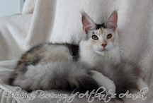 Maine Coon - Black Torty Silver Ticked & White / #MaineCoon #Black #Torti #Silver #Ticked #White #Cats