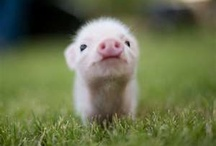 Nano pigs....I am so going to get one / by Kathy Montminy Mensalvas