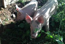 Farm Life / Life on 800 acres ~ continuously farmed since the founding of Jamestown, VA
