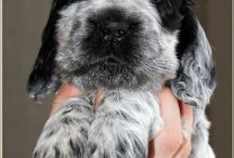 Cocker Spaniel blue Roan