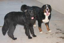 Newfoundland Dogs