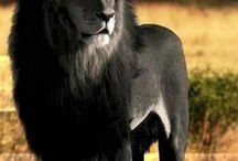 black lev