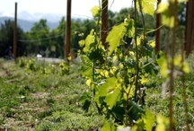 Oliver's Vineyard at 63rd St Farm / Settembre Cellars newest Boulder Vineyard with our friends at 63rd St Farm.