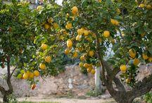 Zitruspflanzen im mediterranen Garten