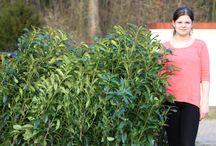 Kirschlorbeer Genolia , Prunus laurocerasus  Genolia / Heckenpflanzen immergrüne Heckenplanzen Sichtschutz Kirschlorbeer Kirschlorbeer Genolia Prunus laurocerasus  Genolia Sichtschutz