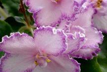 Flowers - African Violet