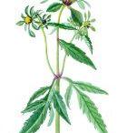 Herbář - složnokvěté (hvězdicovité)