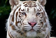 Tigre .blanc royal