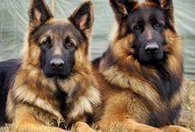German shepherd's to adore